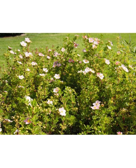 Potentilla fruticosa 'Lovely Pink'® ( Pink Beauty) - potentilles, comarums,