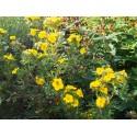 Potentilla fruticosa var. grandiflora 'Jackmann's Variety' - potentille de Jackmann