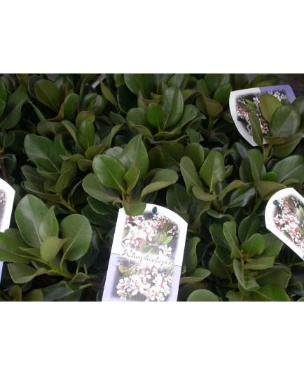 Rhaphiolepis umbellata -Rhaphiolepis du Japon,aubépine des Indes