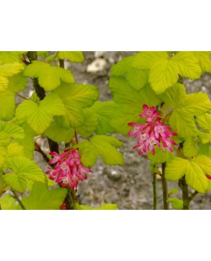 Ribes sanguineum 'Brianjou' - Groseiller fleur doré