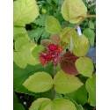 Rubus phoenicolasius - Ronce japonaise