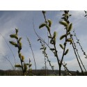 Salix aquatica 'Gigantea' - Saule géant