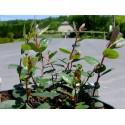 Salix finmarchica x - Saule du Finnmark