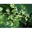 Salix multinervis x - saule à nervures nombreuses