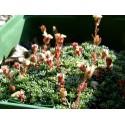 Saxifraga 'Peach Blossom'- Saxifrage