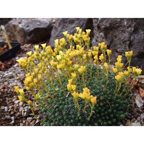 Saxifraga borisii x 'Karsteijn' - Saxifrage