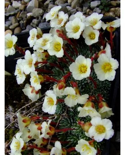 Saxifraga elisabethae x 'Millstream Cream'
