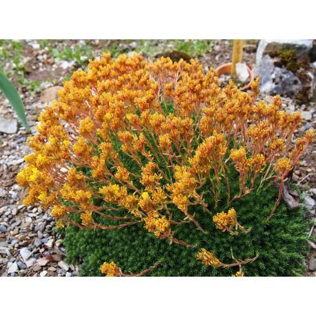 Saxifraga eudoxiana x 'Gold Dust'' - saxifrages