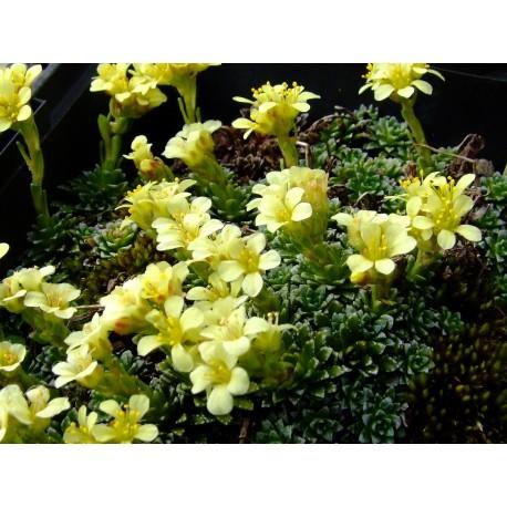 Saxifraga kotschyi - saxifrage