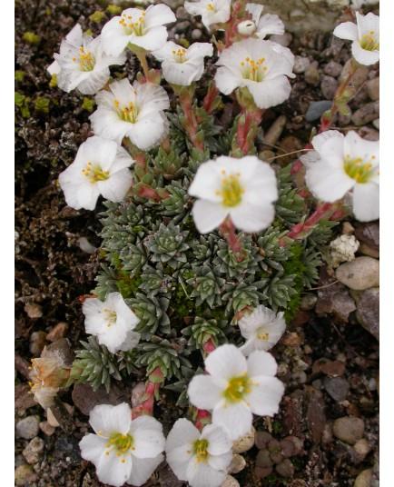 Saxifraga megaseiflora x 'Vladana' - saxifrages