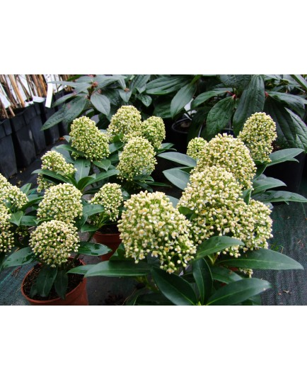 Skimmia japonica 'Fragrant Cloud'