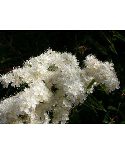Sorbaria aitchisonii - Sorbaire