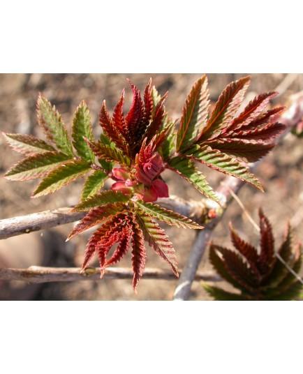 Sorbaria arborea 'Glauca' - Sorbaire