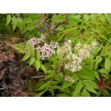 Sorbaria grandiflora - Sorbaire