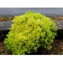 Spiraea japonica 'Golden Carpet' - Spirée du Japon