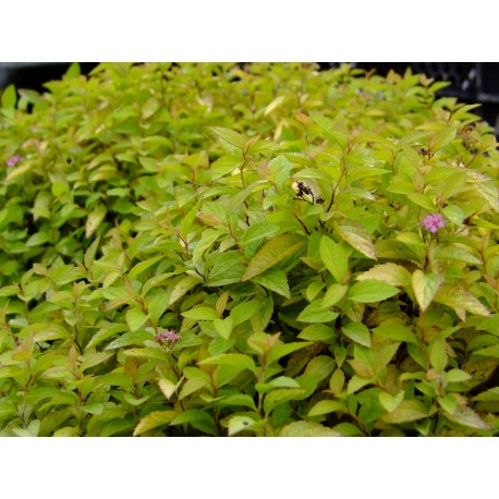 Spiraea japonica 'Sparkling Carpet' - Spirée du Japon