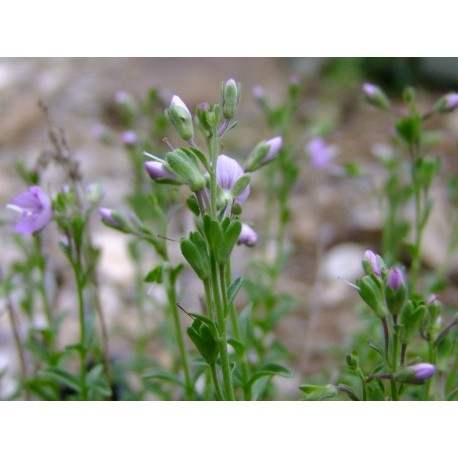 Veronica thymoides