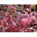 Viburnum bodnantense x - Viorne de Bodnant