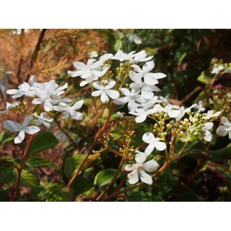 Viburnum plicatum 'Summer Snowflake' -Viorne du japon, viorne à plateaux