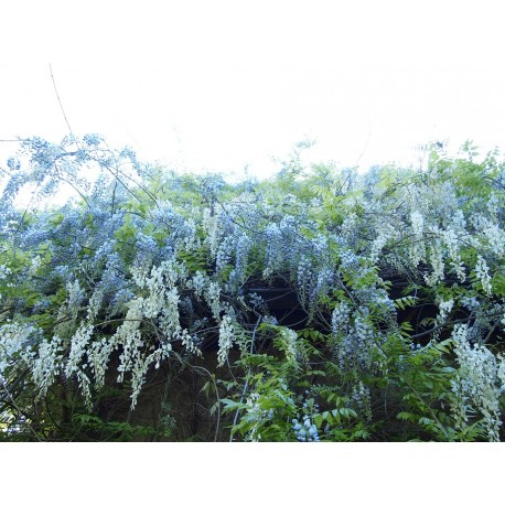 Wisteria floribunda 'Alba'- glycine du Japon blanche