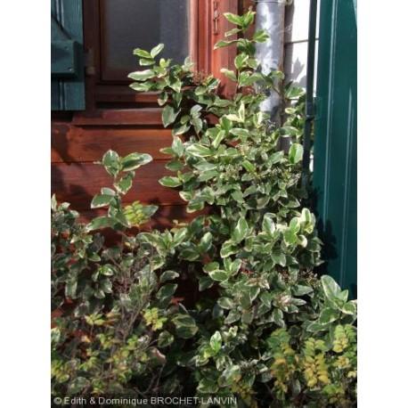 Viburnum tinus 'Variegatum' - laurier tin panaché