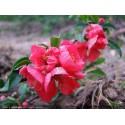 Chaenomeles superba x 'Pink Lady' - Cognassier du japon