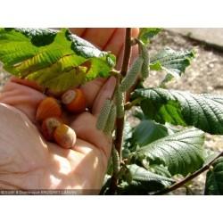 Corylus avellana - Noisetier / Coudrier/ Avelline