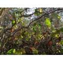 Corylus avellana 'Contorta' - Noisetier tortueux