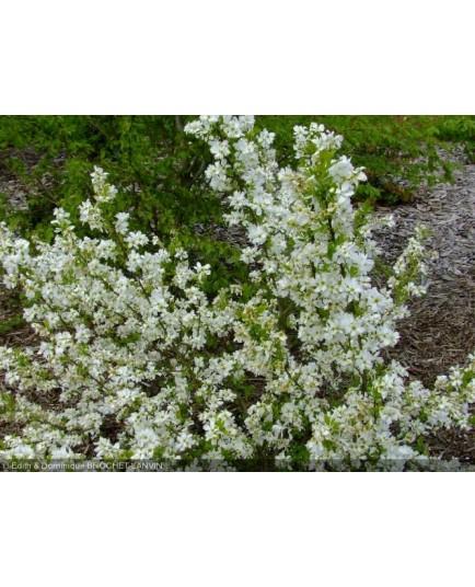 Exochorda racemosa 'Niagara'- arbuste de la mariée