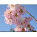 Prunus subhirtella 'Autumnalis' - cerisiers d'ornement,