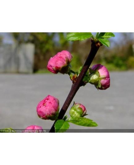 Prunus triloba - amandier à fleurs