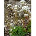 Saxifraga paniculata - Saxifrage en panicules