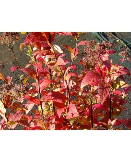 Spiraea japonica 'Macrophylla' - Spirée du Japon