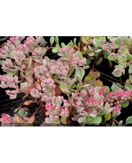 Hylotelephium cauticola 'Lidakense' -orpin