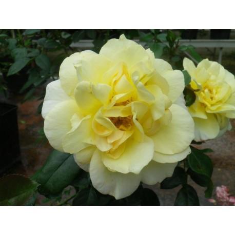 Rosa 'Friesia' - Rosaceae - Rosier