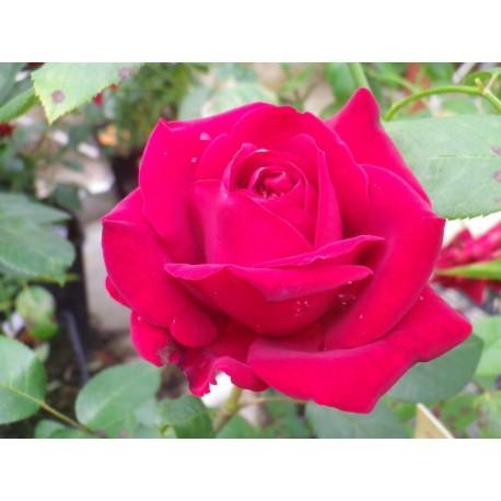 Rosa 'Ingrid Bergman' - Rosaceae - Rosier