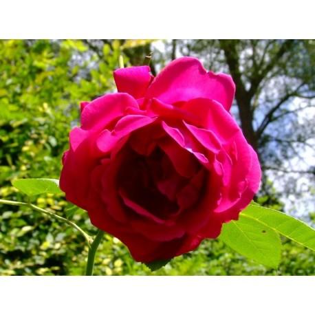 Rosa 'Prince Camille de Rohan' - Rosaceae - Rosier arbuste