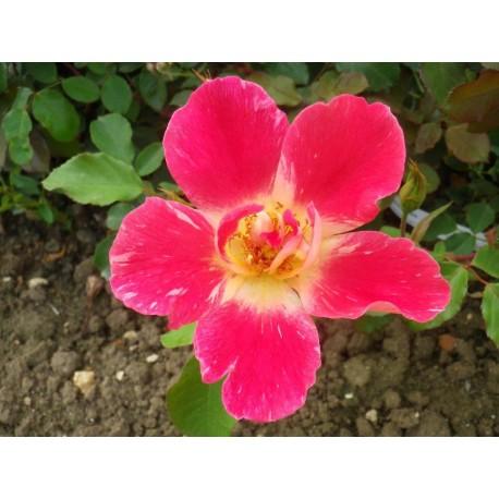 Rosa 'Terre et Nature' - Rosaceae - Rosier
