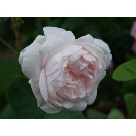 Rosa 'Shailer's White Moss' - Rosaceae - Rosier mousseux