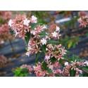 Abelia chinensis - Abelia de Chine
