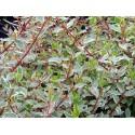 Abelia chinensis 'Variegata' - abelia panaché