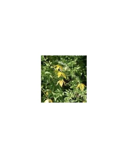 Clematis tangutica - clématite jaune