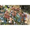Abelia grandiflora x - abelia