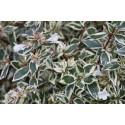 Abelia grandiflora x 'Confettii'® - Abélie