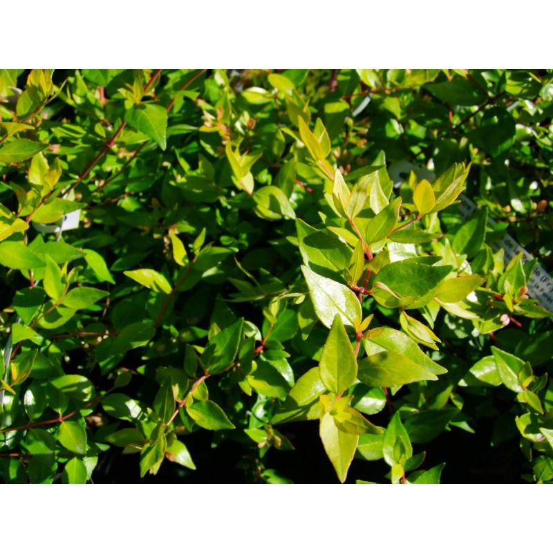 Abelia X Grandiflora Francis Mason Abelie