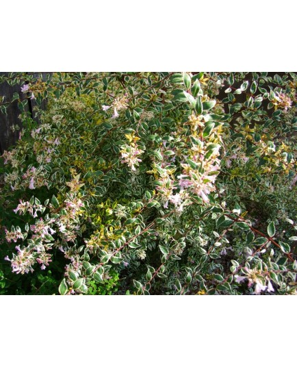 Abelia grandiflora x 'Hopley's' - abélie