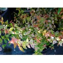 Abelia grandiflora x 'Kaleidoscope' ® - abélie