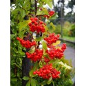 Pyracantha 'Orange Glow' - buisson ardent