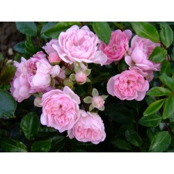 Rosa  'Beauty Fairy' - Rosaceae -