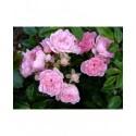 Rosa  'Beauty Fairy' - Rosaceae -